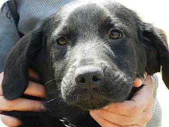 Labrador Retriever Mix Dog for adoption in Clinton, Maine - Sammy