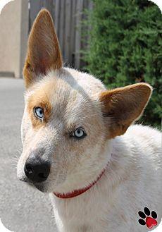 Pembroke Welsh Corgi Mix Dog for adoption in Branson, Missouri - Dank
