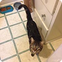 Adopt A Pet :: Kato - Chicago, IL
