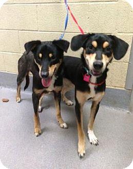 Labrador Retriever/Rottweiler Mix Dog for adoption in Parma, Ohio - Baby Girl