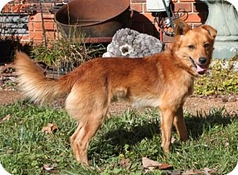 Cattle Dog Mix Dog for adoption in Brattleboro, Vermont - Rudy
