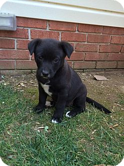 Canaan Dog Mix Puppy for adoption in WESTMINSTER, Maryland - Ebony