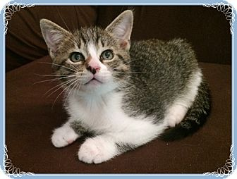 Domestic Shorthair Kitten for adoption in Mt. Prospect, Illinois - Henry