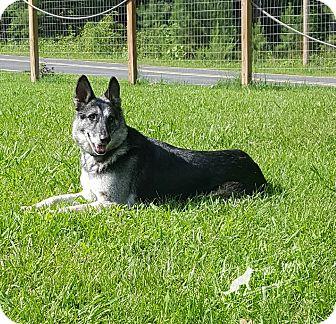 German Shepherd Dog Dog for adoption in Mocksville, North Carolina - Sheena