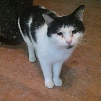 Domestic Shorthair Cat for adoption in Montreal, Quebec - Marco