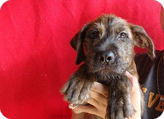 Schnauzer (Standard) Mix Puppy for adoption in Oviedo, Florida - Duke