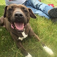 Pit Bull Terrier Mix Dog for adoption in Nesquehoning, Pennsylvania - Faith