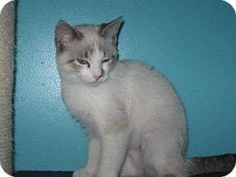 Siamese Kitten for adoption in Walnutport, Pennsylvania - Meisha