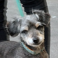 Adopt A Pet :: Scrappy - Palmdale, CA