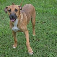 Boxer/Labrador Retriever Mix Dog for adoption in Brunswick, Maine - Bruce