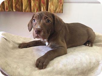 Labrador Retriever Mix Puppy for adoption in Atlanta, Georgia - Brielle