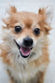 Chihuahua/Pomeranian Mix Dog for adoption in Rockville, Maryland - Potton