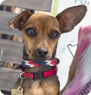 Chihuahua/Dachshund Mix Dog for adoption in Pt. Richmond, California - CHERRY DARLING