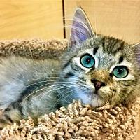 Adopt A Pet :: Shakespeare - Merrifield, VA