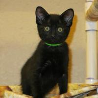 Adopt A Pet :: Penne - Fort Collins, CO