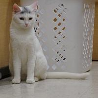 Adopt A Pet :: Blossom - Salem, NH