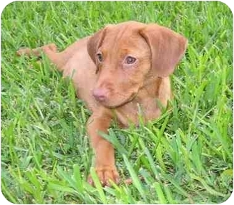Labrador Retriever/Vizsla Mix Puppy for adoption in Homestead, Florida - Ember