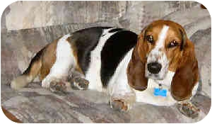 Basset Hound Dog for adoption in Phoenix, Arizona - Pudgy
