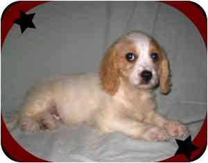 Cavalier King Charles Spaniel/Bichon Frise Mix Puppy for adoption in North Benton, Ohio - Calvin