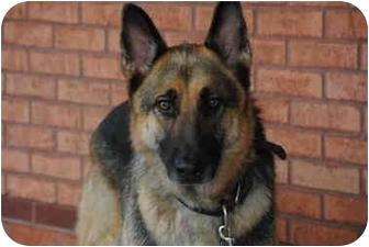 German Shepherd Dog Dog for adoption in Rochester/Buffalo, New York - Rex