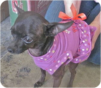 Chihuahua Dog for adoption in Encino, California - Lolly