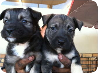 Terrier (Unknown Type, Medium)/Collie Mix Puppy for adoption in North Hollywood, California - Luna