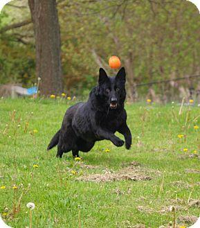 Labrador Retriever/German Shepherd Dog Mix Dog for adoption in Toronto/Etobicoke/GTA, Ontario - Shadow