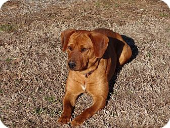 Labrador Retriever/Vizsla Mix Dog for adoption in Westport, Connecticut - Marley