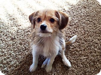 Cairn Terrier/Beagle Mix Puppy for adoption in Hillsboro, Illinois - Roco