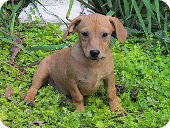 Dachshund Mix Puppy for adoption in Bedminster, New Jersey - DINKY