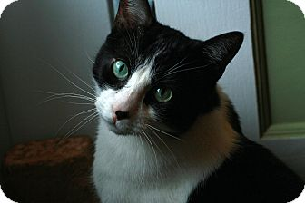 Domestic Shorthair Cat for adoption in St. Louis, Missouri - Rocky-