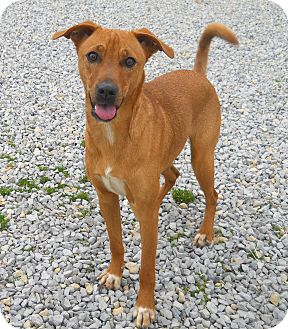 Labrador Retriever Mix Puppy for adoption in Salem, New Hampshire - PUPPY TRIXIE ANN