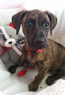 Dachshund/Terrier (Unknown Type, Small) Mix Puppy for adoption in Knoxville, Tennessee - Dorothy