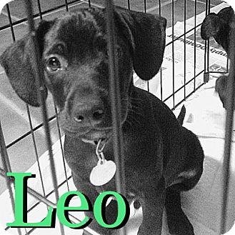 Dachshund/Chihuahua Mix Puppy for adoption in Baton Rouge, Louisiana - Leo