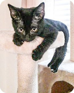 "Domestic Shorthair Cat for adoption in Coppell, Texas - Shultzie ""Fun Little Purrpot"""