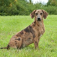 Catahoula Leopard Dog Mix Dog for adoption in Tuskegee, Alabama - Pooky