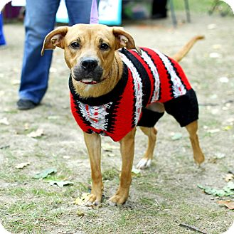 Shepherd (Unknown Type)/Retriever (Unknown Type) Mix Dog for adoption in Detroit, Michigan - Sable-Adopted!