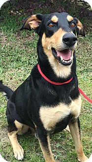 Doberman Pinscher/German Shepherd Dog Mix Dog for adoption in Navarre, Florida - Costa