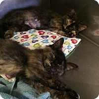 Adopt A Pet :: Ash - Byron Center, MI