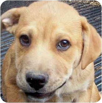 Boxer/Labrador Retriever Mix Puppy for adoption in Portsmouth, Rhode Island - Toby