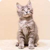 Adopt A Pet :: Sage - Chicago, IL