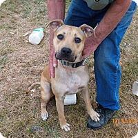 Adopt A Pet :: Amber - Boston, MA