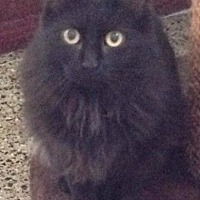 Domestic Longhair Cat for adoption in Freeport, New York - Jade