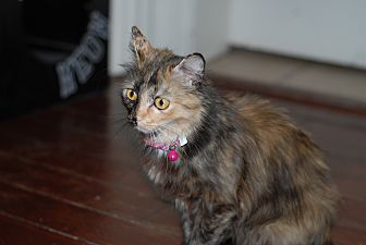 Domestic Mediumhair Cat for adoption in Nashville, Tennessee - Momma Kitty