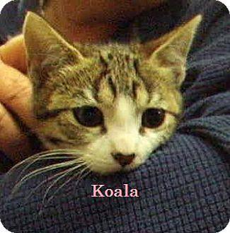 Domestic Shorthair Kitten for adoption in Alturas, California - Koala