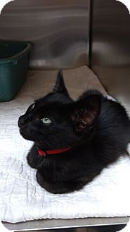 Domestic Shorthair Cat for adoption in Armuchee, Georgia - Sinbad