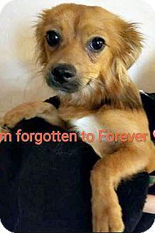 Cavalier King Charles Spaniel/Spaniel (Unknown Type) Mix Dog for adoption in Boulder, Colorado - Brady-ADOPTION PENDING