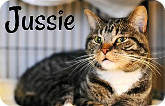 Domestic Shorthair Cat for adoption in Cleveland, Tennessee - Jussie