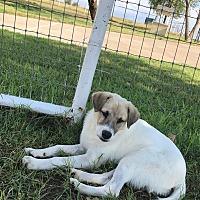 Adopt A Pet :: Gibbs - Flemington, NJ