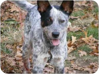 Australian Cattle Dog Puppy for adoption in Toledo, Ohio - COLIN~FeeReduced